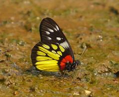 Red-base Jezebel (mishko2007) Tags: deliaspasithoesiamensis redbasejezebel chiangdao thailand 105mmf28