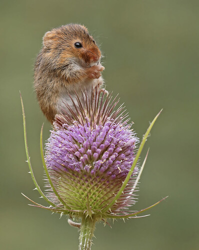Harvest Mouse by