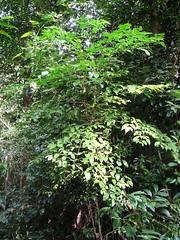 polyscias.elegans (dave.kimble) Tags: polyscias polysciaselegans araliaceae silverbasswood cellerywood arfp nswrfp qrfp cyrfp tropicalarf dryarf monsoonarf subtropicalarf warmtemperatearf lowlandarf uplandarf