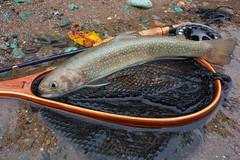 Iwana33 DSC_4070 (touhenboku) Tags: iwana fly fishing flyfishing stream river creek brodin lamson waterworks