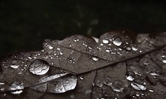 💧🍁 (staceygallagher2) Tags: macro nature leaf raindrops drops rain water