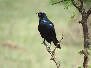 Grootglasspreeu /Burchell's Starling