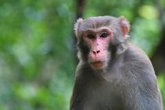 Rhesus Macaque Portrait (Gomen S) Tags: mammal 2017 80400mm d500 nikon mountain forest asia tropical morning autumn wildlife nature animal hongkong hk china