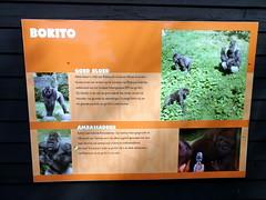 rotterdam_4_152 (OurTravelPics.com) Tags: rotterdam explanation western lowland gorilla bokito africa area diergaarde blijdorp zoo