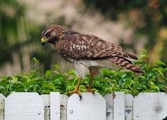 Hawk (Infinity & Beyond Photography) Tags: hawk raptor bird fence leaves bushes garden redshouldered beak birdofprey