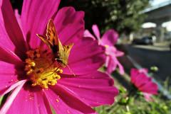 Different Cosmos (TJ Gehling) Tags: insect lepidoptera butterfly hesperiidae skipper fieryskipper hylephila hylephilaphyleus plant flower asterales asteraceae cosmos baxtercreekgatewaypark ohlonegreenway elcerrito
