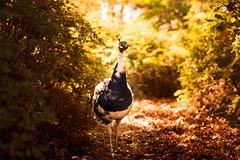 peacock (bjdewagenaar) Tags: sony sonya58 sonyalpha sonyphotographer minolta 50mm primelens autumn peacock bird animal nature colors gorinchem gorcum holland dutch raw lightroom