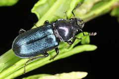 Platycerus caraboides, la chevrette bleue. (chug14) Tags: unlimitedphotos animalia arthropoda hexapoda insecta coleoptera lucanidae lucaninae chevrettebleue scarabaeuscaraboides platyceruscaraboides scarabaeoidea