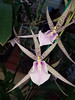 spider orchid (BarryFackler) Tags: orchid flower botany gardening horticulture akatsukaorchidgardens bloom blossom petals leaves colorful colors indoor life bigisland hawaii akatsukaorchids horticultural plants organism biology nature flora floral ecology momsvisit2017 tropical hawaiiisland polynesia beautiful barryfackler barronfackler 2017 hawaiicounty sandwichislands botanical hawaiianislands