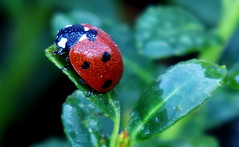 ladybug (Hayseed52) Tags: ladybug orange nature leaf dew wet dropslets waterdrops