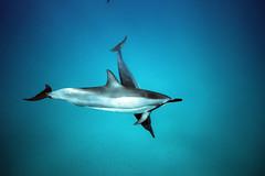 IMG_3813 (Aaron Lynton) Tags: dolphin dolphins spinnerdolphins spl waterhousing maui hawaii underwater canon 7d diving onebreath apnea joy friends fu fun