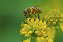 Honeybee and a yellow flower _DSC0220 (richardsscenery) Tags: honeybee yellowflower pollen pollencoveredlegs pollination beemovie nature closeup nikon nikkorlens natureatwork godscreation