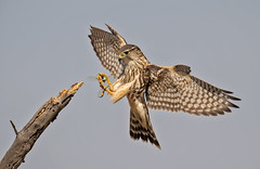 Merlin and the dragon (knobby6) Tags: merlin falcon tiercel birdofprey hawk california d5 600mm nikon