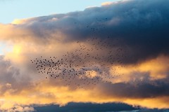 IMG_3953 (LezFoto) Tags: canoneos700d sigma 700d canon 120400mmf4556dgapooshsm scotland unitedkingdom murmuration angus starling starlings sunset sky clouds