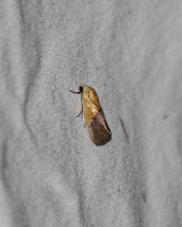 9085 Ponometia semiflava, Half-yellow Moth