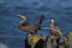 Ummm... (17611) (jonathanclark) Tags: autumn fall bird seabird cormorant defecation rock sea coast coastal wild wildlife nature natural bangor countydown northernireland