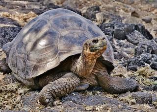Giant Galapagos Tortoise (Geochelone elephantopus)