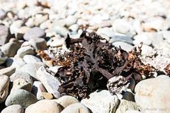 Seaweed 7468 (Ursula in Aus) Tags: bournda bourndanationalpark kangaruthawalk npawalk tathra walk boulderbay