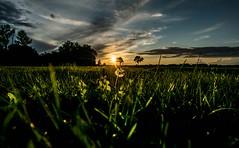 Let it glow (marionrosengarten) Tags: meadow afsnikkor14–24mm128ged sunset sundown dandelion grass green sun light glow sky blue clouds cloudporn nature field colorful mood shine rays skyporn