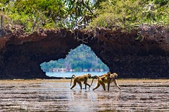 Baboons crossing the reef