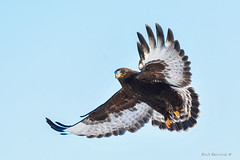 Wing flair (Earl Reinink) Tags: earlreinink earl reinink photographer bird animal nature naturephotography hawk raptor flight roughleggedhawk aihdraadoa