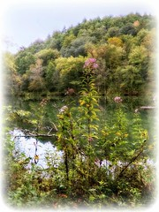 Joe Pye Weed (Chris C. Crowley- Always behind but trying to catc) Tags: joepyeweed flowers weeds river holstonriver water scenic landscape trees foliage nature hills bristoltennessee evacuatingfromhurricaneirma 9102017