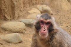 高尾山さる園 - Mt. Takao Monkey Park (Hachimaki123) Tags: mttakaomonkeypark takaosanmonkeypark 高尾山さる園 高尾山 mttakao takaosan 動物 さる 猿 animal monkey mono 日本 japan macaco macacojaponés macacafuscata