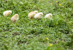 Free chicks! - A walk in the wood - (Mario Ottaviani Photography) Tags: sony sonyalpha italy italia paesaggio landscape travel adventure nature scenic exploration view vista breathtaking tranquil tranquility serene serenity calm marioottaviani chicks free wood walk yellow green giallo verde liberi pulcini erba grass