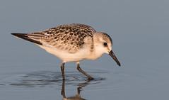 Sanderling. (mandokid1) Tags: canon ef400mmdoii 1dx birds shorebirds