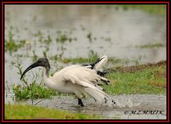 SACRED IBIS (Threskiornis aethiopicus).....NAIROBI NAT.PARK......OCT 2012 (M Z Malik) Tags: nikon d3x 200400mm14afs kenya africa safari wildlife nairobinatpark exoticafricanwildlife exoticafricanbirds ngc npc