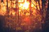Warmer Sommertag (simonpe86) Tags: flare deutschland sunset nature sonnenuntergang germany blume orange red makro backlit warm travel warmtones flower freiburg macro lensflare breisgau yellow gegenlicht detail