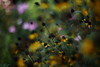 Untitled (けんたま/KENTAMA) Tags: garden flower rudbeckia ルドベキア 庭 bokeh planart1450 6d