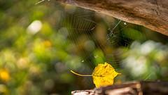 Interesting catch - a vegetarian spider maybe??!? (.: mike | MKvip Beauty :.) Tags: sony⍺6500 sonyilce6500 sonyalpha6500 sonyalpha sony alpha emount ⍺6500 ilce6500 primelens prime manuallens manualondigital manualfocusing manualexposure manual samyang35mmf14asumc samyang35mmƒ14edasumc samyang 35mm ƒ14 aspherical commliteautofocusadapteref commlite efnex eftoemount macro makro closeup handheld availablelight naturallight backlight shallowdof bokeh bokehlicious beyondbokeh extremebokeh smoothbokeh dreamy soft zen nature green orange yellow leaf cobweb spiderweb web autumn fall wörthamrhein germany europe mth mkvip commliteautofocusadapterefnex ngc npc