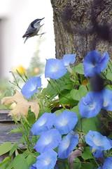 Nuthatch Flies into Morning Glory Photo (Joseph Hollick) Tags: bird flower blueflower flying timing flickrfriday