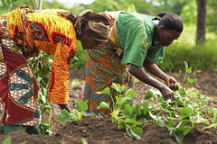5558400857-dc9c453f21-b (ypdint) Tags: african africans black blacks livingproofprojectlpp mariamtele mwanaidirhamdani agriculture candid crop crops crouch crouching dirt exterior farmer farmers field fields kneel kneeling orangefleshedsweetpotato plant plants root roots soil sweetpotato tuber tubers woman women working works mwasonge tanzania