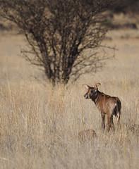 P9270153 Roan baby (Joanna P Dale) Tags: marricksafari olympus omdem1 35mmmacro 35mmzuiko