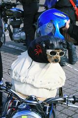 B0001947 (Chewbacca2009) Tags: dog motorbikes goggles