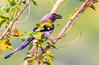 Treepie (Mohsan Raza Ali Baloch) Tags: mohsans mohsan raza ali islamabad pakistan birds nature flowers birdlover wild wildlife animal migratory