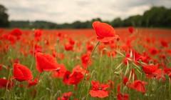 Darent Valley Kent (Adam Swaine) Tags: poppies commonpoppy fields darentvalley england englishlandscapes flora flowers britain british kent kentishlandscapes uk ukcounties counties countryside nature red petals