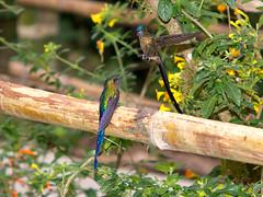 Long- tailed sylphs (Eerika Schulz) Tags: long tailed sylph aglaiocercus kingi kolibri hummingbird mindo ecuador
