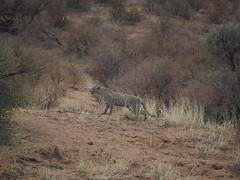 PA042345 Leopard (Joanna P Dale) Tags: kgalagaditransfrontierpark matamata olympus omdem1mkii panasonic100400 africanleopard leopard
