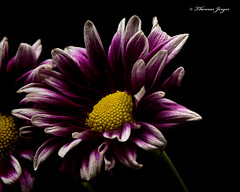 Making Way 1013 Copyrighted (Tjerger) Tags: nature beautiful beauty black blackbackground bloom blooming closeup fall flora floral flower green macro mum plant portrait purple single white wisconsin yellow makingway natural