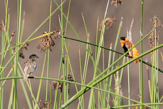 Northern Red Bishop, female and male