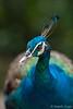 20170516-DSC_7159 (saajithazeez_6) Tags: red nikon saajithazeez nikonphoto nikonphotography nature nikon70200mm28vr2 wildlife wild outdoor naturephotography d750 brides wildlifephotography