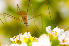 They Don't Always Drink Blood (raypainter) Tags: coalcreektrail lafayettecolorado scotttucker canon autumn bug bugs colorado diptera ef100mm eos70d event fall flies flora flowers fly hfdf insects macro micro morning mosquito nature outdoors raypainter wildlife