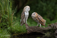 Will you marry me? 750_0515.jpg (Mobile Lynn) Tags: owls barnowl birds nature bird fauna strigiformes tytoalba wildlife nocturnal otterbourne england unitedkingdom gb coth specanimal ngc coth5 npc sunrays5