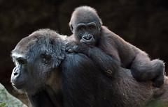 western lowlandgorilla Duisburg BB2A2301 (j.a.kok) Tags: gorilla westelijkelaaglandgorilla westernlowlandgorilla lowlandgorilla laaglandgorilla animal aap ape mammal monkey mensaap primate primaat duisburg zoogdier dier afrika africa