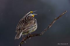 Just singing in the rain.. (Earl Reinink) Tags: bird animal flight earl reinink earlreinink nature photography nikon niagara sing singing song rain lark meadowlark easternmeadowlark zaotduhdoa