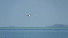 Flying Seagull; Fliegende Möwe (16:9) (Thragor) Tags: blau hintergrund tier möwe meer nordsee vogel 169 16x9 animal background bird blue northsea sea seagull nordstrand schleswigholstein deutschland de