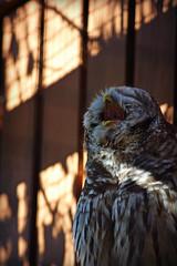 Cock-a-doodle-who! (MTSOfan) Tags: owl yawn barredowl lvz